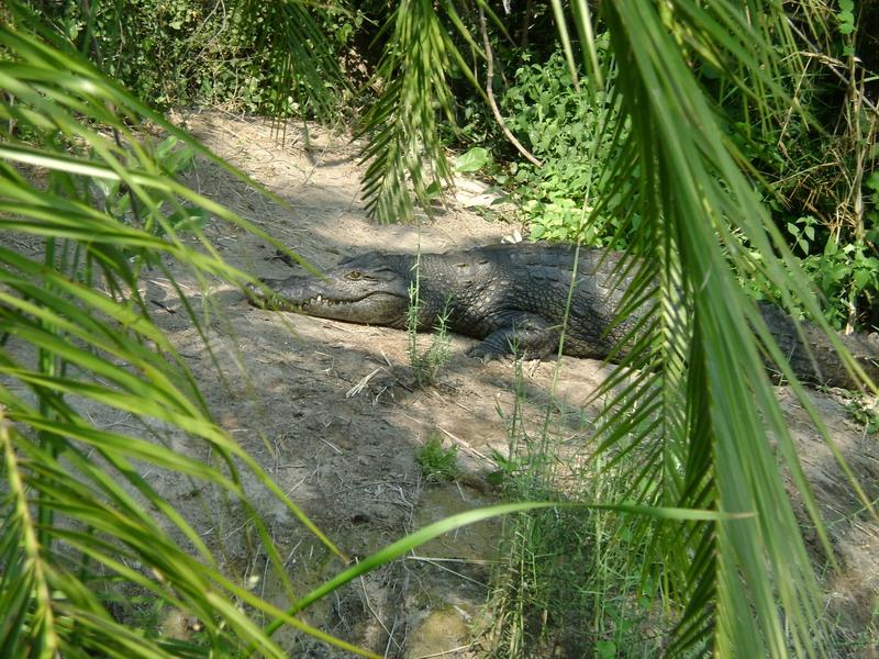 Крокодил в Африканской реке
