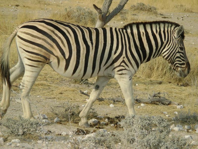 Зебра Африканская